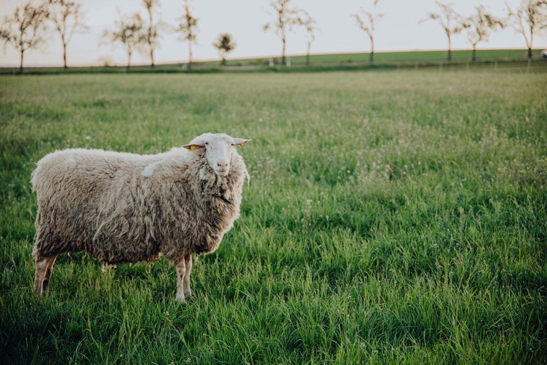 Wie wird aus Schafsmilch Käse? Das verraten die Lernangebote und Käse-Workshops der Käseschuppe in Linda bei Weida.